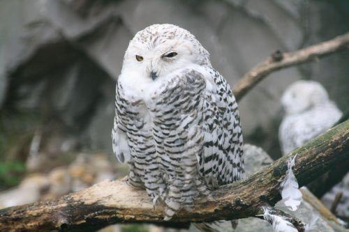 barn owl owl baby young