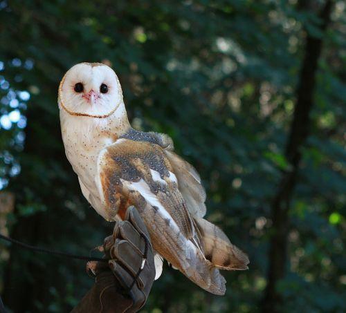 barn owl bird owl