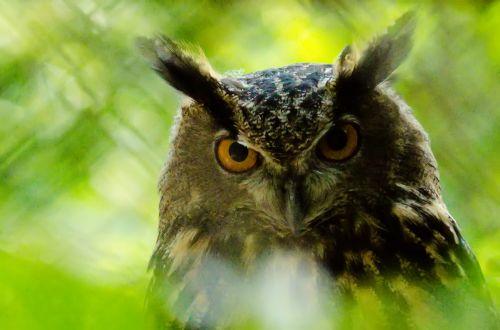 Barn Owl Bird
