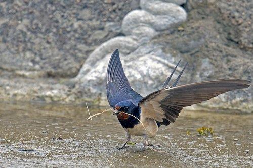 barn swallow  schwalbe  songbird