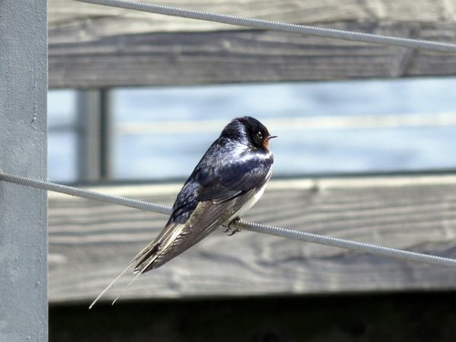 barn swallow  bird  schwalbe