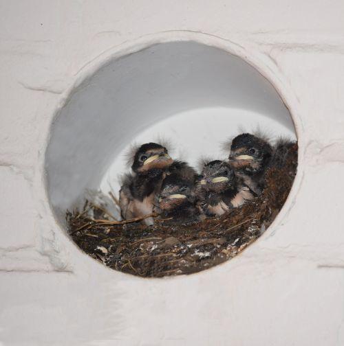 barn swallows nest bird boy