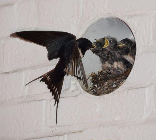 barn swallows nest feed