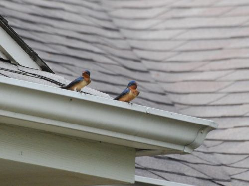 Barn Swallows On A Roof
