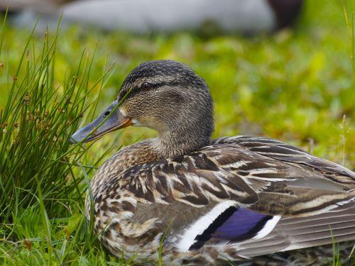 barnacle ducks family of ducks