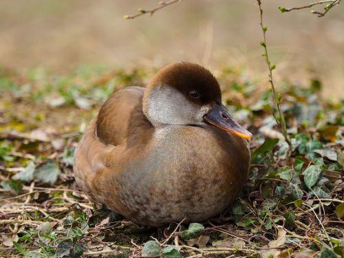barnacle ducks net-rousse