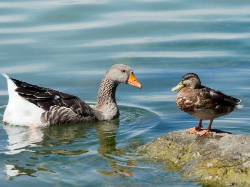 barnacle geese duck