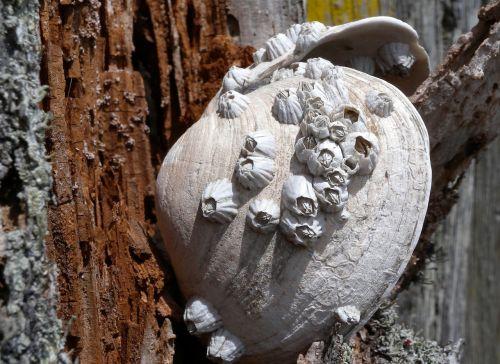 barnacles shell marine
