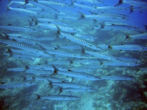 barracuda swarm fish