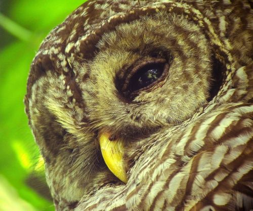 barred owl bird wildlife