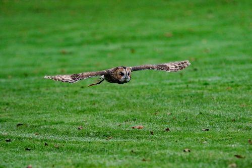 barred owl owl usa