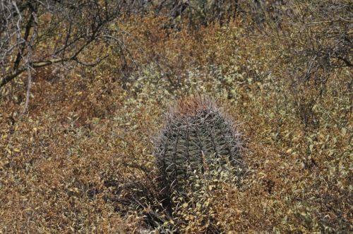 barelė & nbsp, kaktusas, kaktusai, dykuma, krūmai, krūmynai, augalas, augalai, lauke, barrelio kaktusas