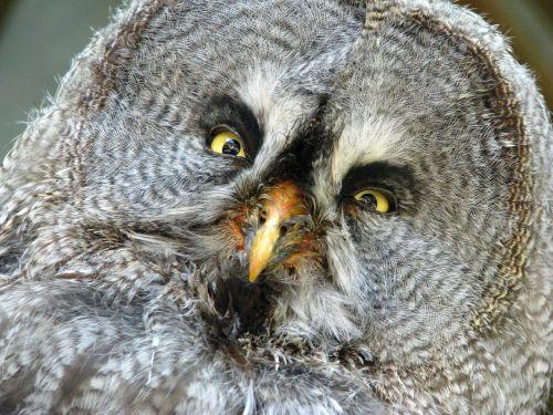 bart owl bird portrait