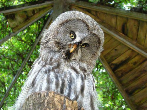 bart owl weird bird animal world