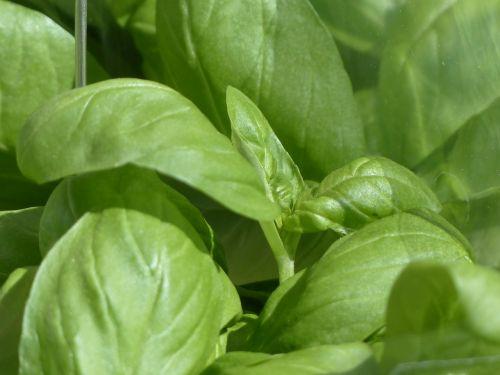 basil ocimum basilicum kitchen herb