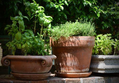 basil thyme terracotta