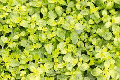 basil green kitchen spice