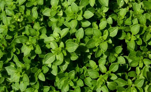 basil the leaves are garden