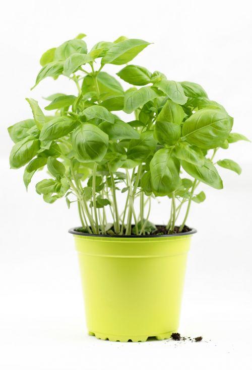 basil basil bush basil pot