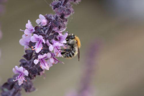 bazilikas,laukiniai bitės,nektaras,bičių,žiedas,žydėti,gamta,vasara,vabzdys,violetinė,Uždaryti,žiedadulkės,apdulkinimas,makro,purpurinė gėlė