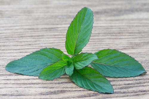basil spice herb