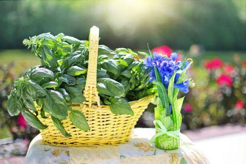 basil herb fresh