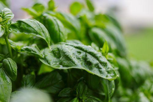 basil herbs green