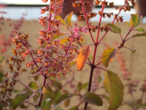 basil herb holy basil