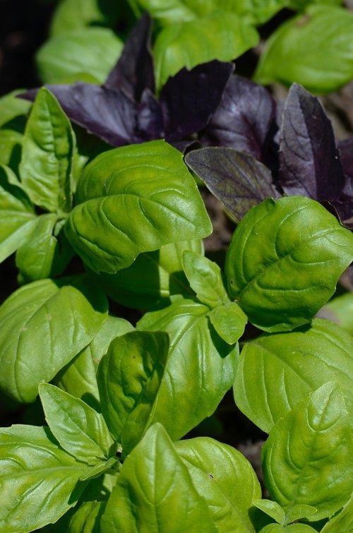 basil  culinary herbs  herbs