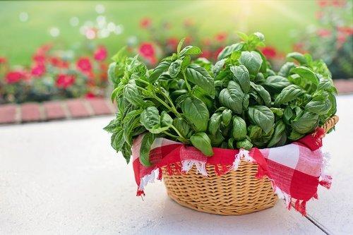 basil  sweet basil  in basket