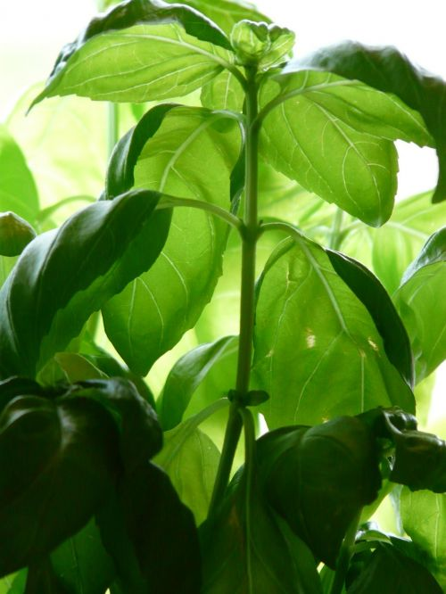 basil plant spice