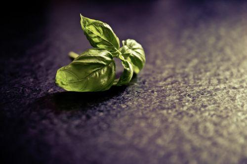 basil spice plant