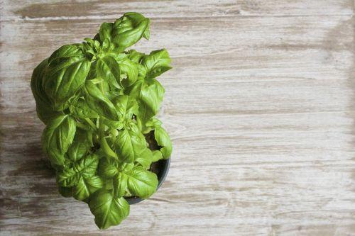 basil plant green