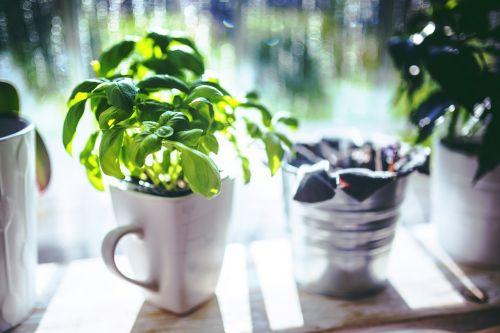 basil cup herbs