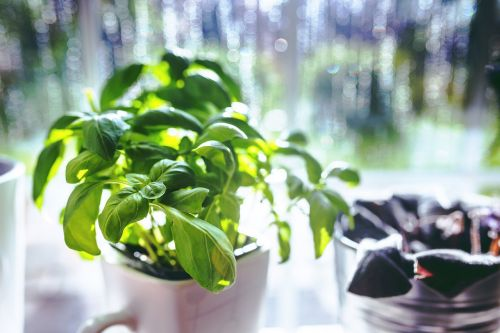 basil cup cooking
