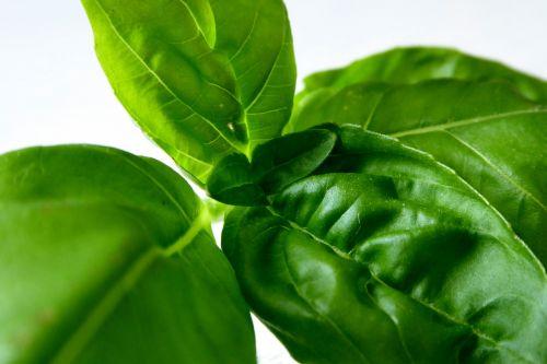basil herbs plant