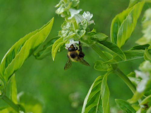 Basil And Bee