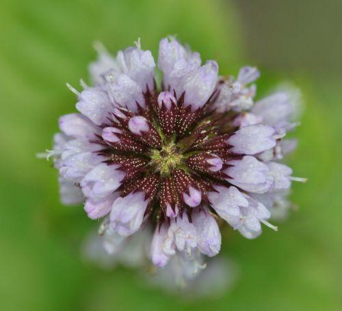 basil flower basil macro
