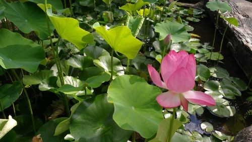 basin aquatic plant lotus flower