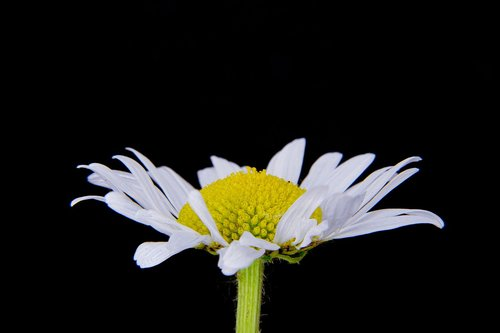 basket flower greenhouse  marguerite  daisy basket flower greenhouse