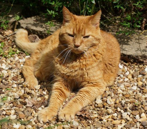 basking orange cat cat feline
