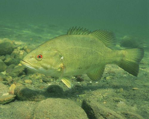 bass smallmouth fish