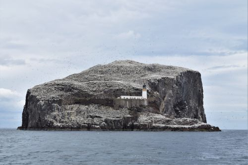 bass rock gannets seabird