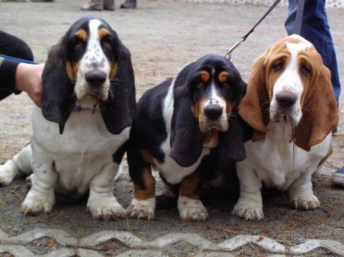 basset hounds puppies dog