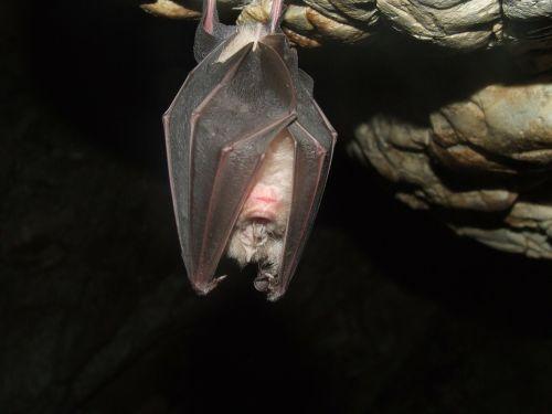 šikšnosparnis,patkóskorrú,ožkos skylė,buko hg,urvas,gamta