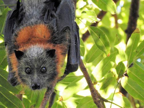 bat wild wildlife