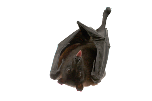 bat hanging isolated