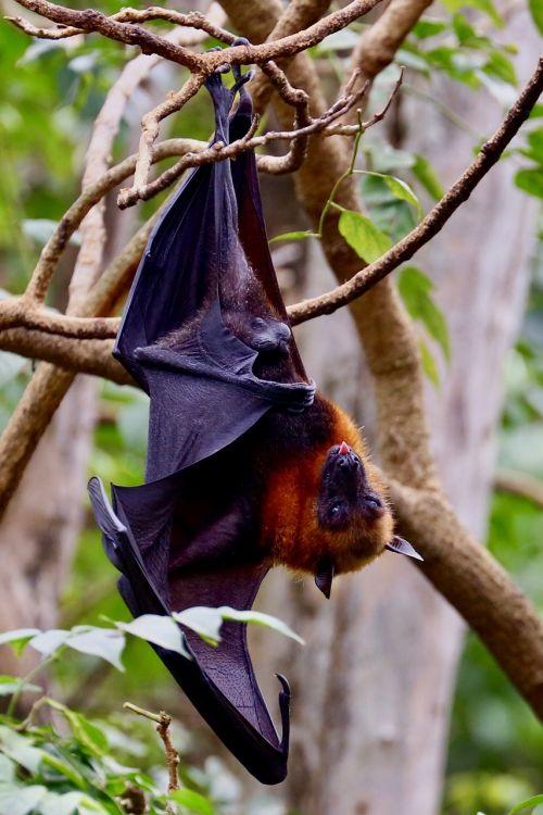 bat hanging bat nature