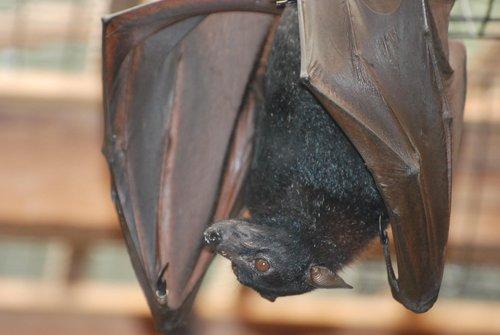 bat  vampire bat  mammal