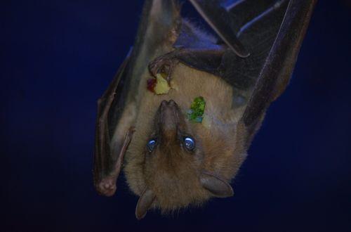 bat flying dog dracula